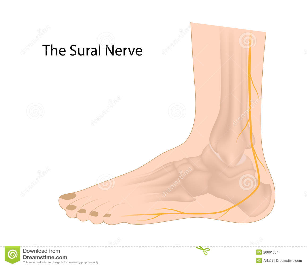 Stock Images Sural Nerve Image26661364