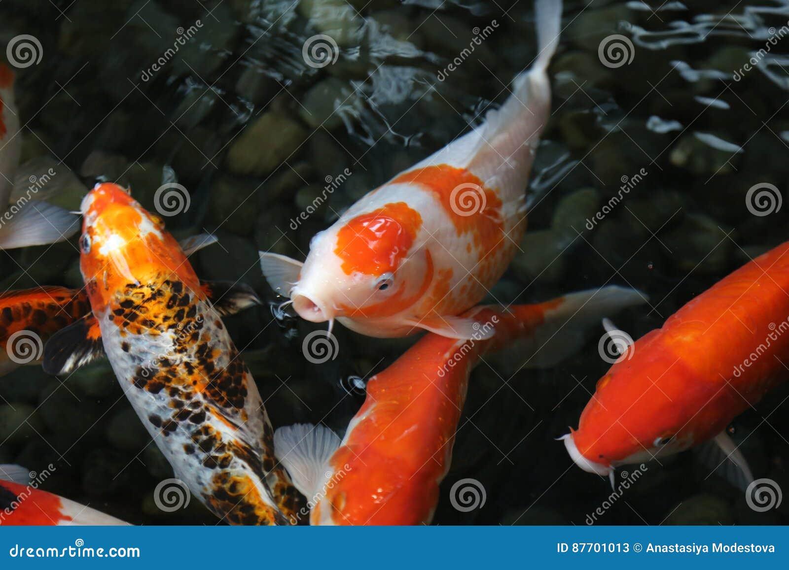 Surface affamée d eaux de pêche de koi