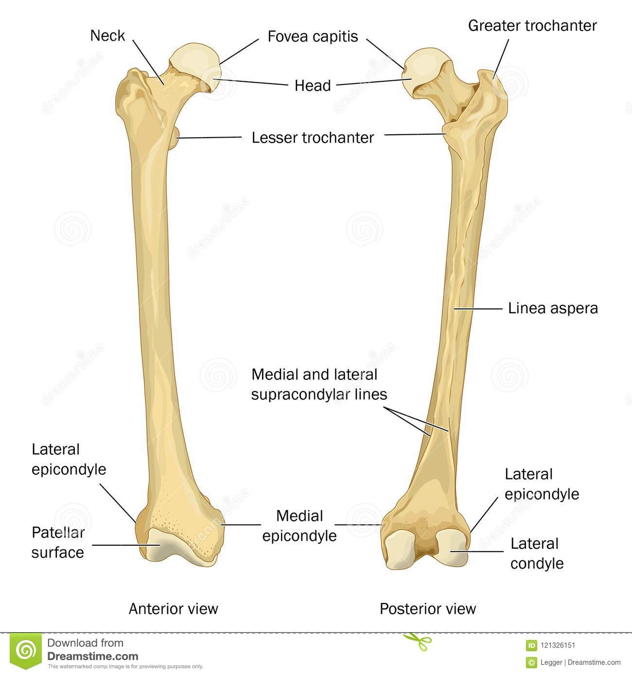 Surface Anatomy Of The Human Femur Stock Illustration Illustration
