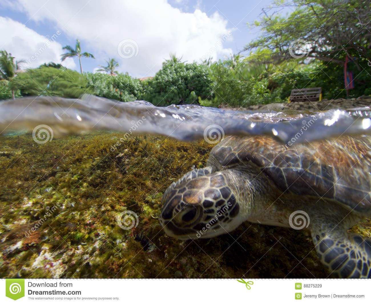 Surfing Green Turtle Stock Image. Image Of Americhelydia