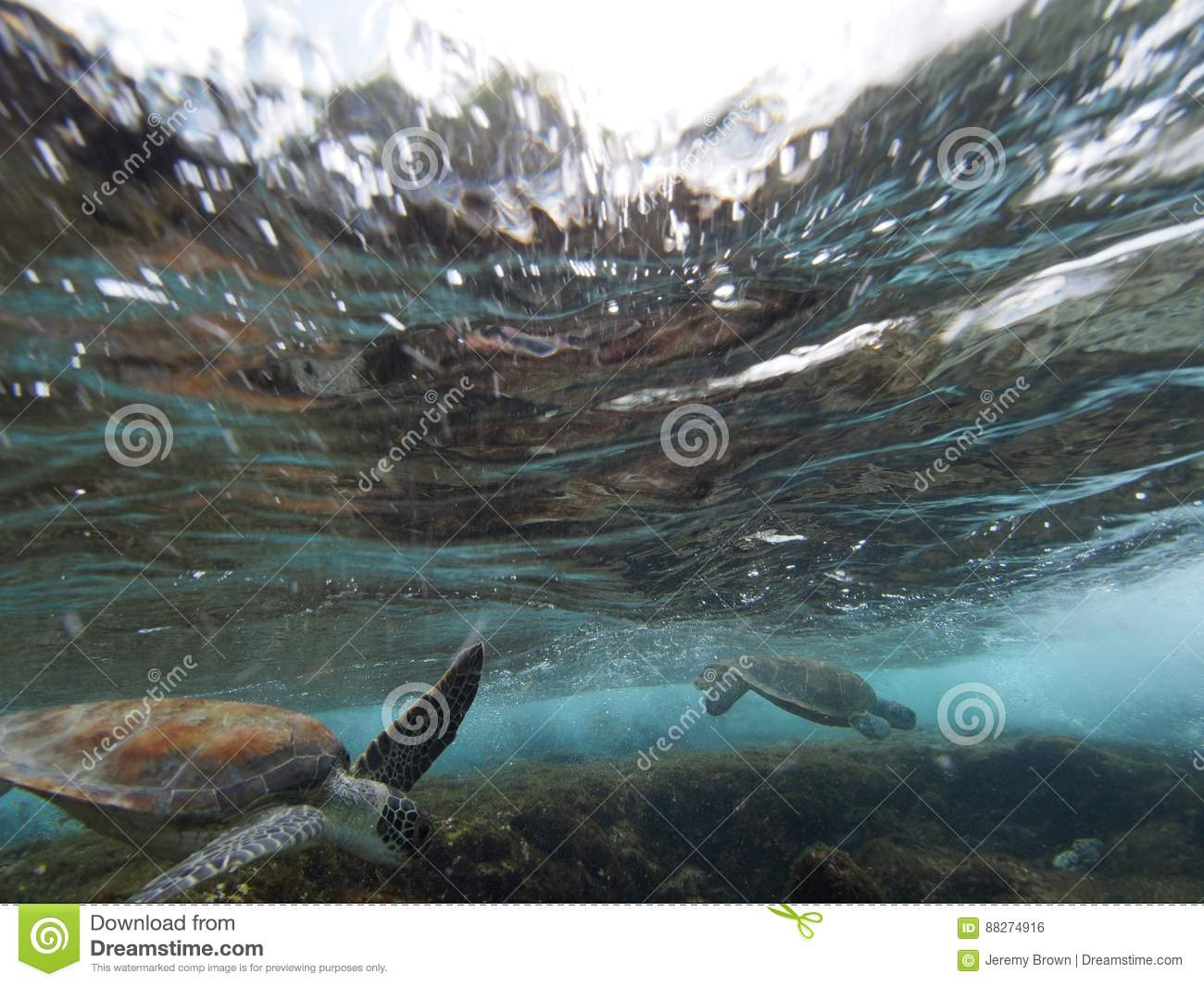 Surfing Green Turtle Stock Photo. Image Of Reptilia