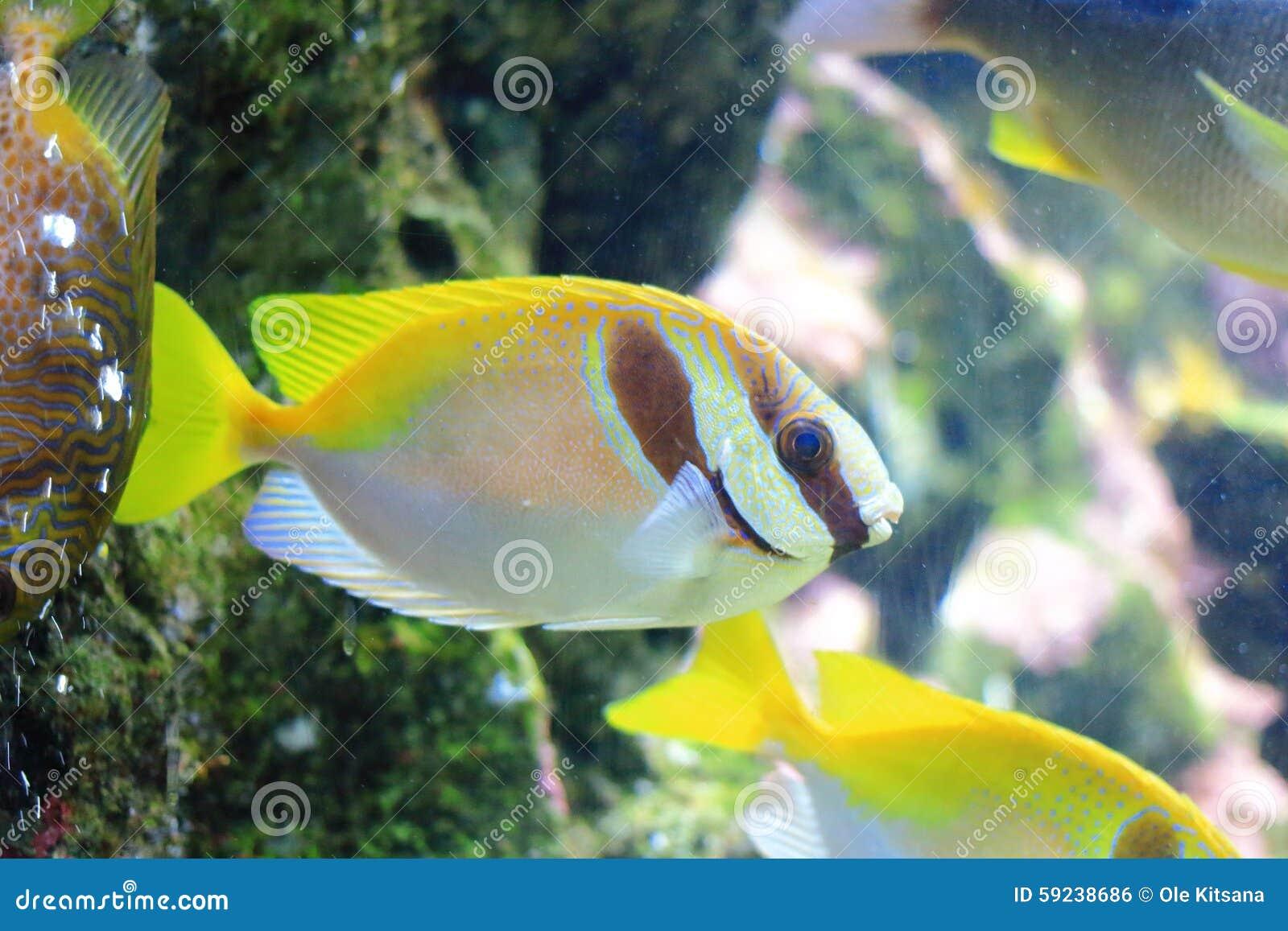 Surgeonfish alargado