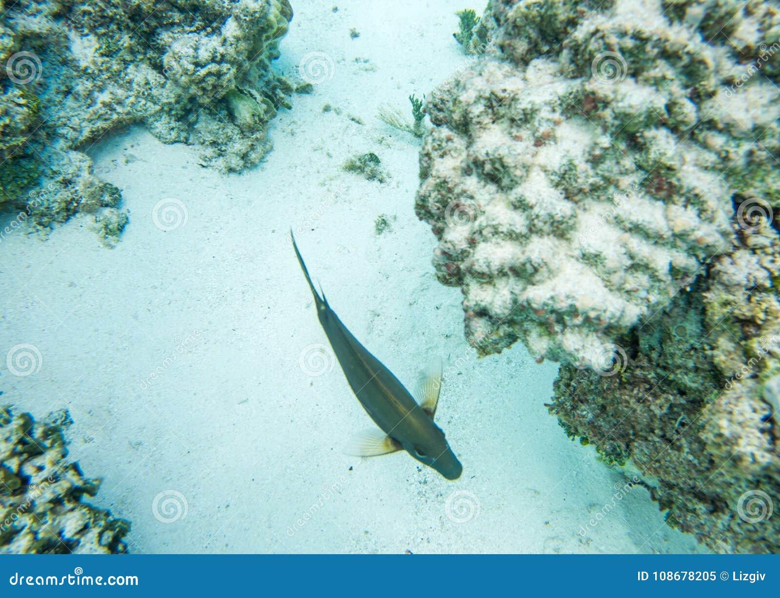 Surgeonfish da sopra