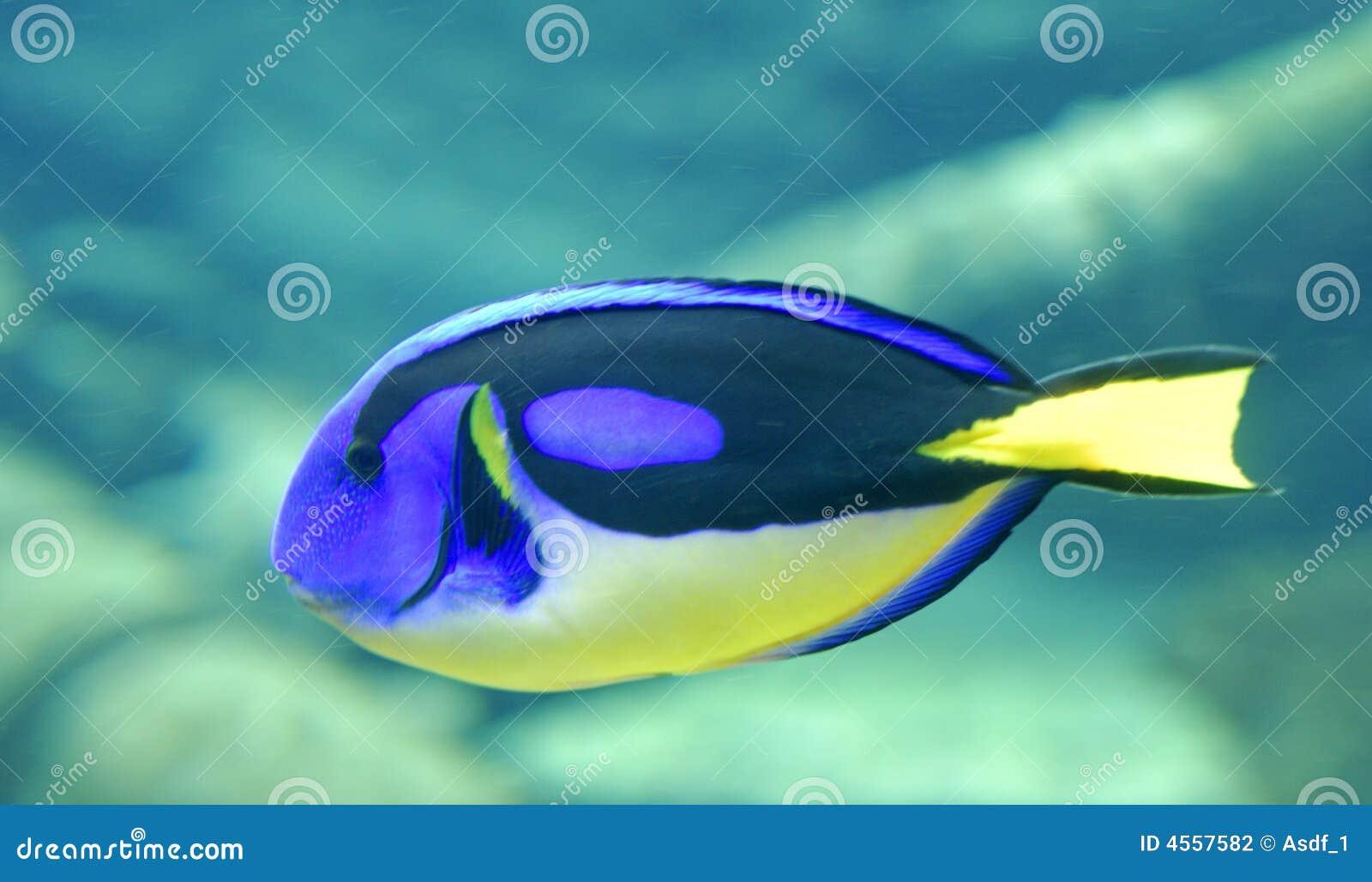 Surgeonfish della gamma di colori
