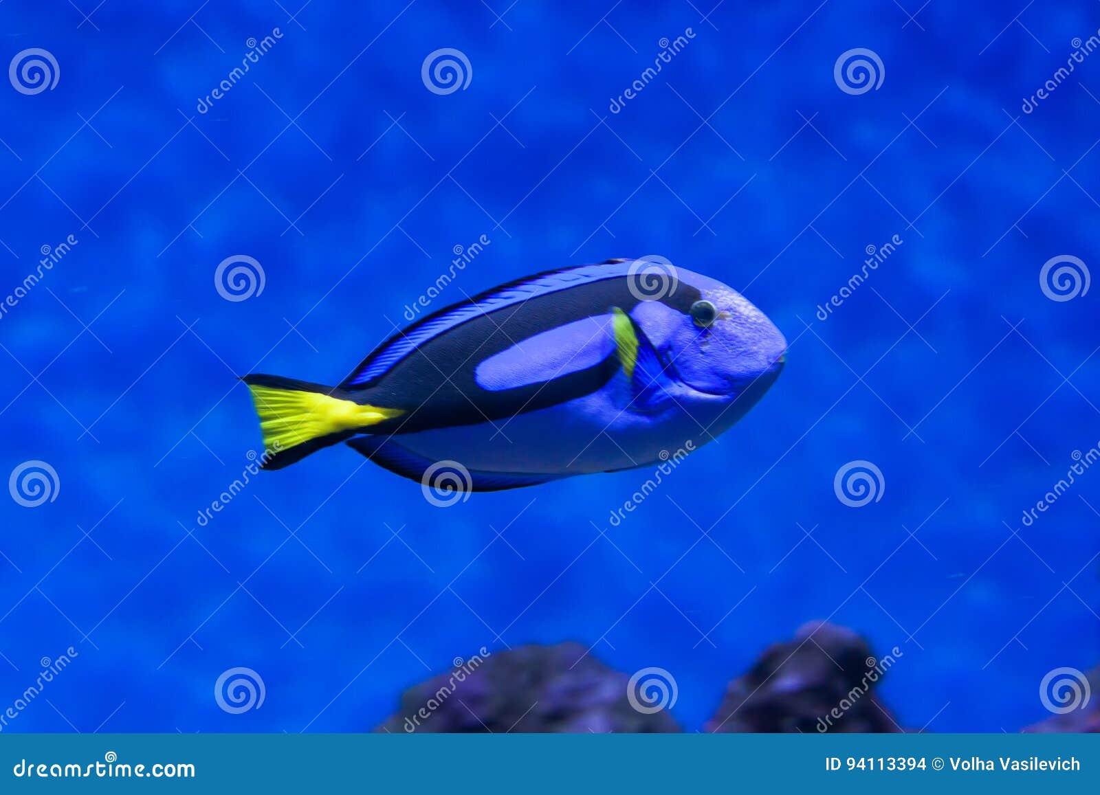 Surgeonfish för palett för Sankt Pers fiskfiskcloseup inom korallrever i det blåa akvariet
