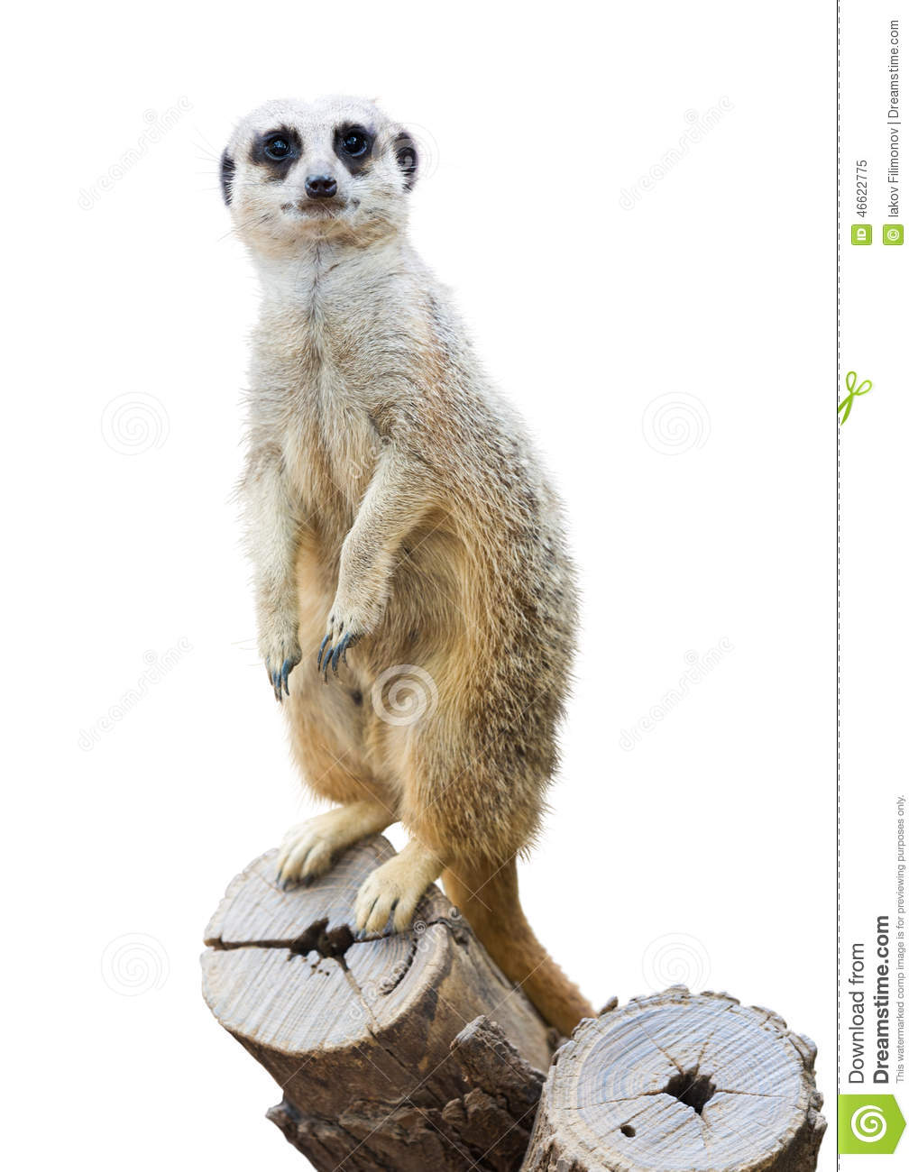 Suricata Stock Photo -... Meerkat Pictures To Print