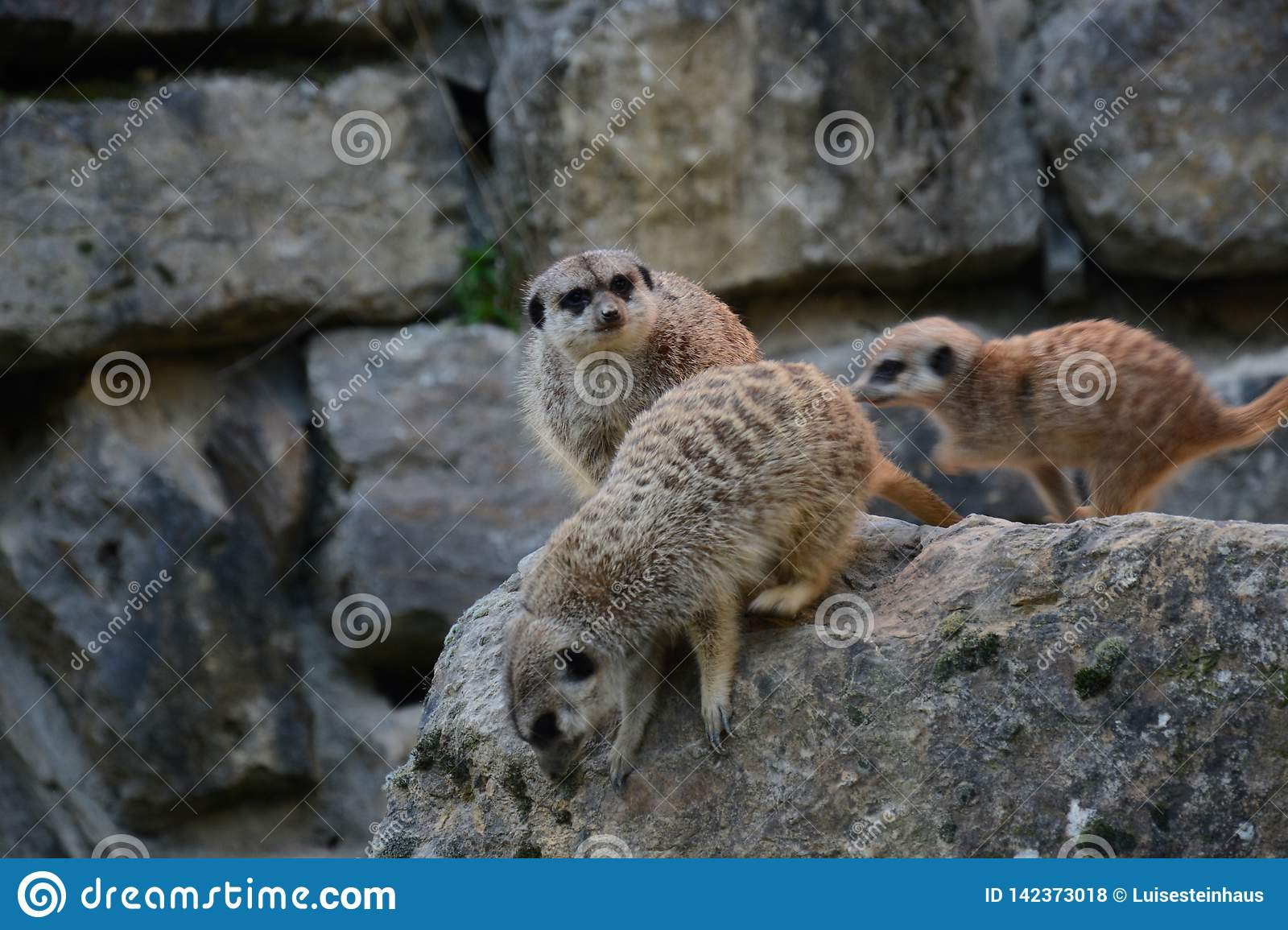Suricates in action in the zoo