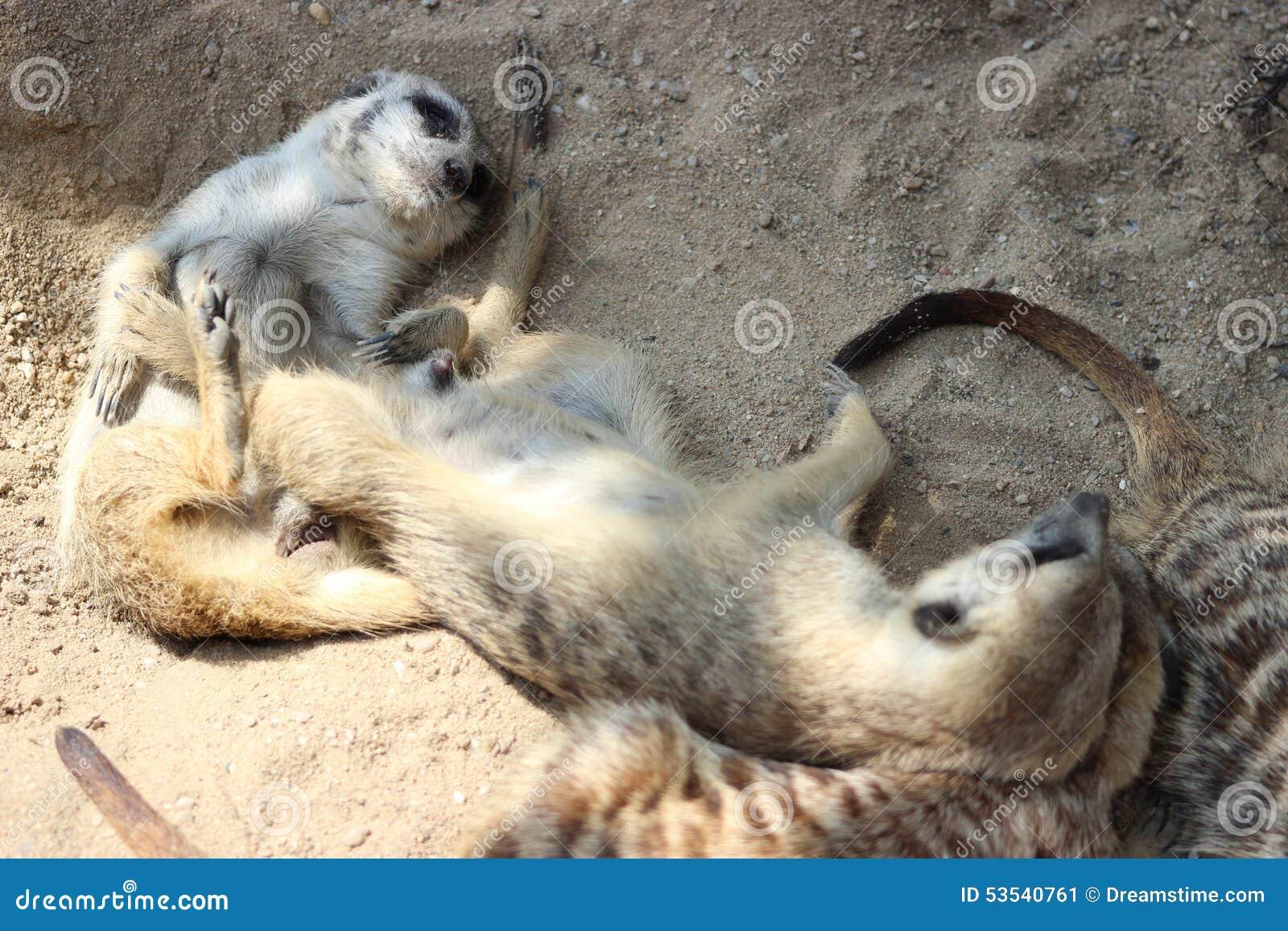 Suricates (Meerkats)