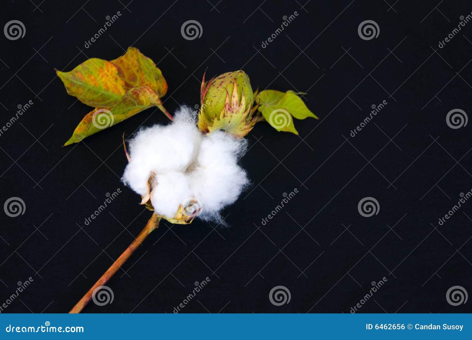 Surowa bawełna