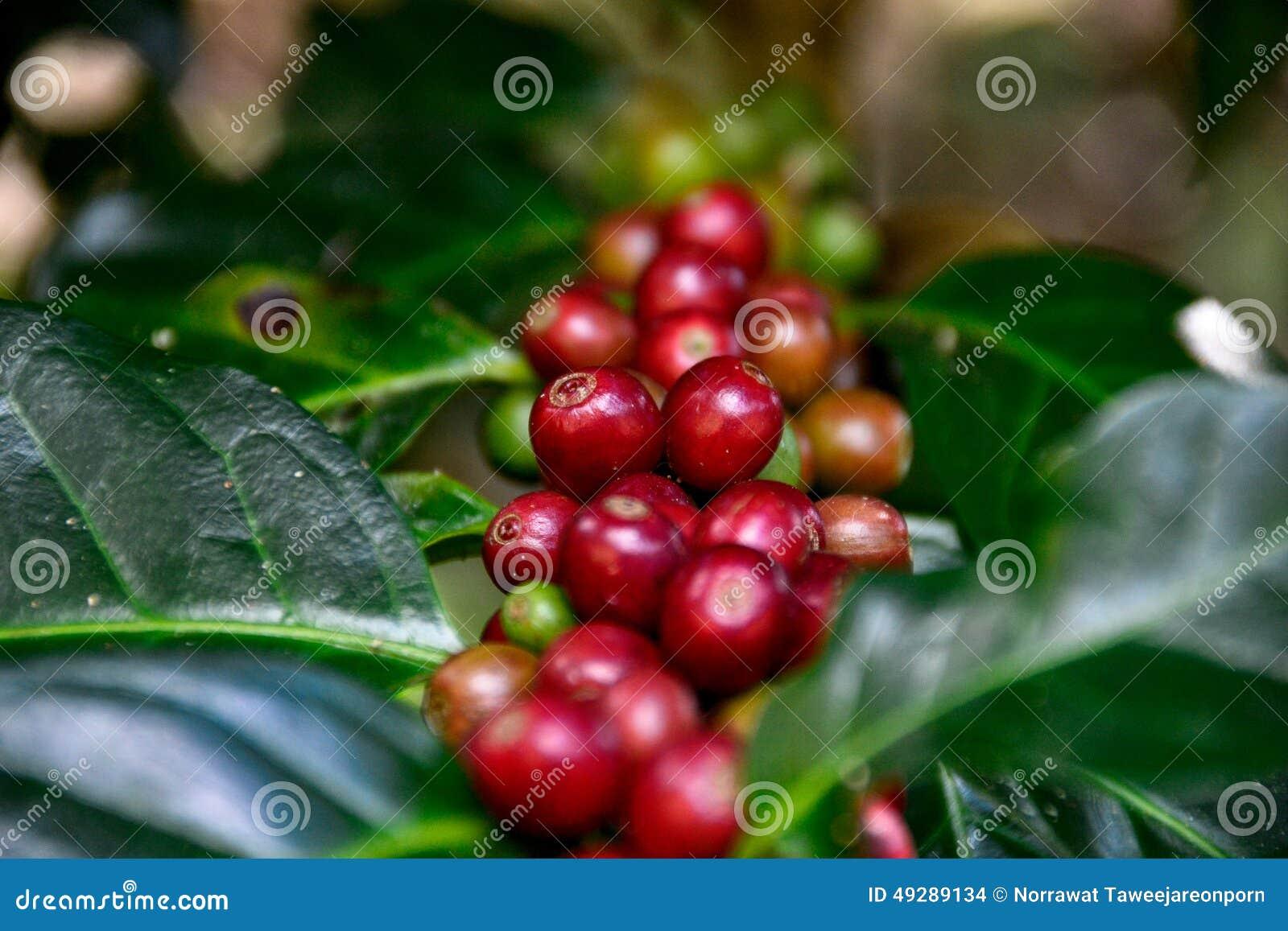 Surowa fasoli kawa
