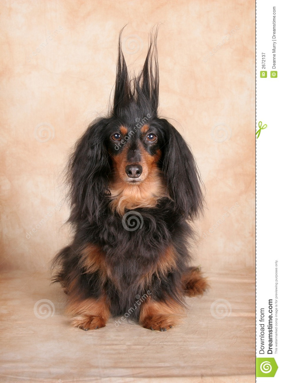 Surprised Dachshund Royalty Free Stock Photography - Image: 2672137