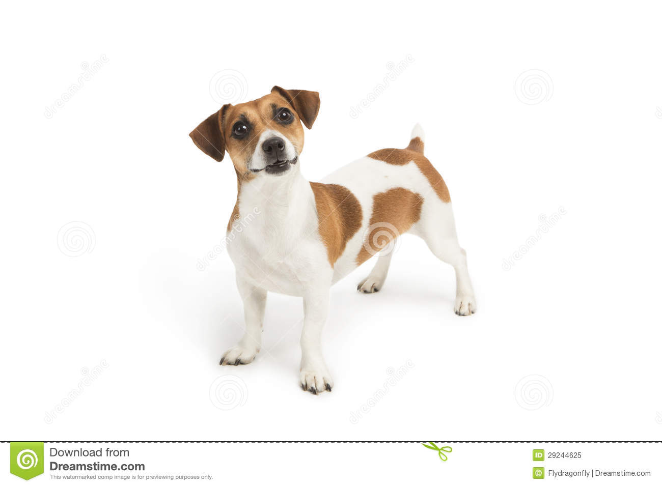 Surprised Jack Russell Terrier dog looking up at the camera