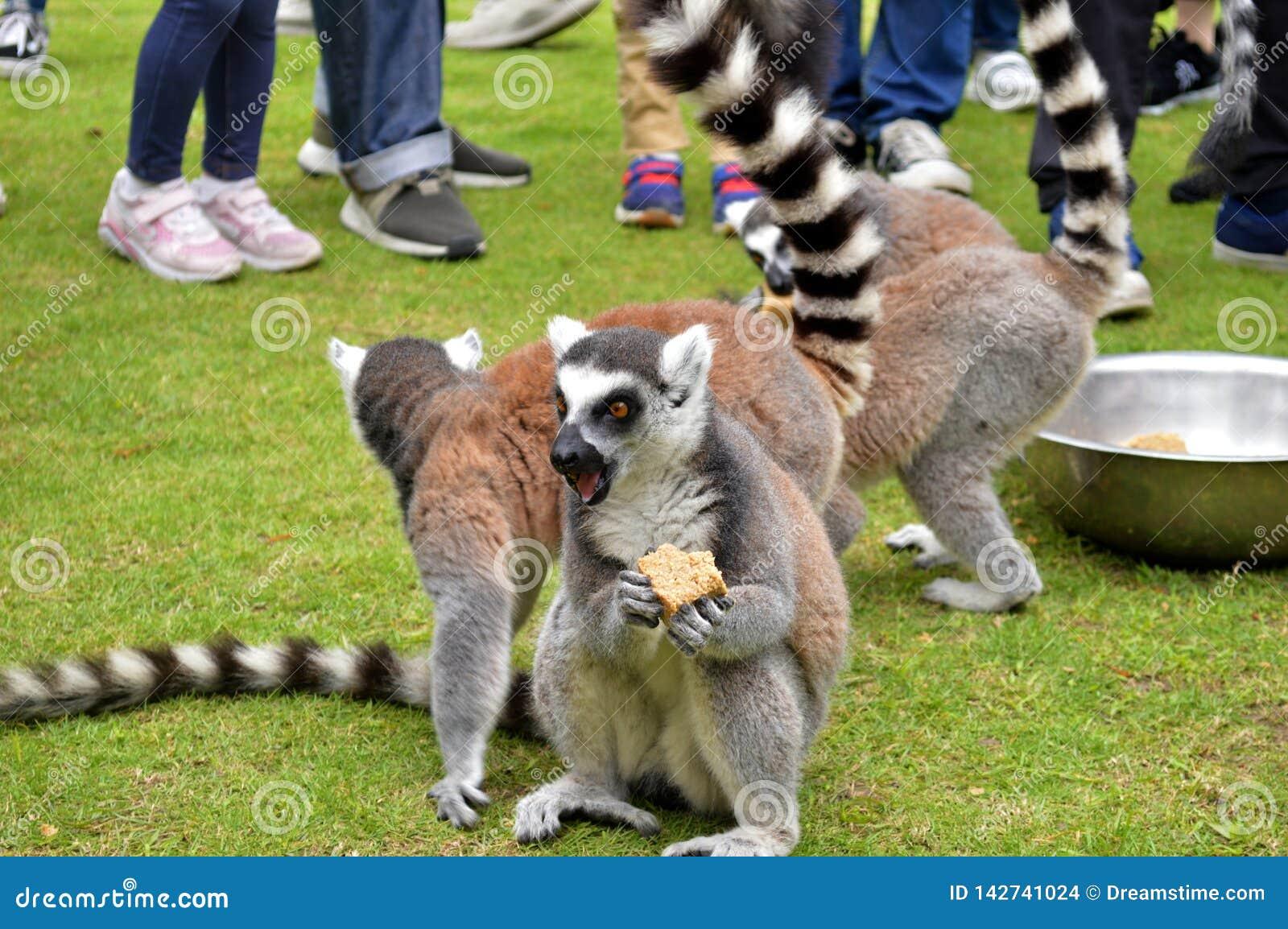 A surprised lemur eating something