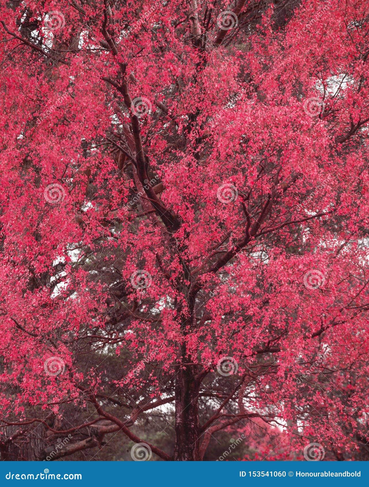Surreal alternate red color vibrant forest woodland Autumn Fall landscape
