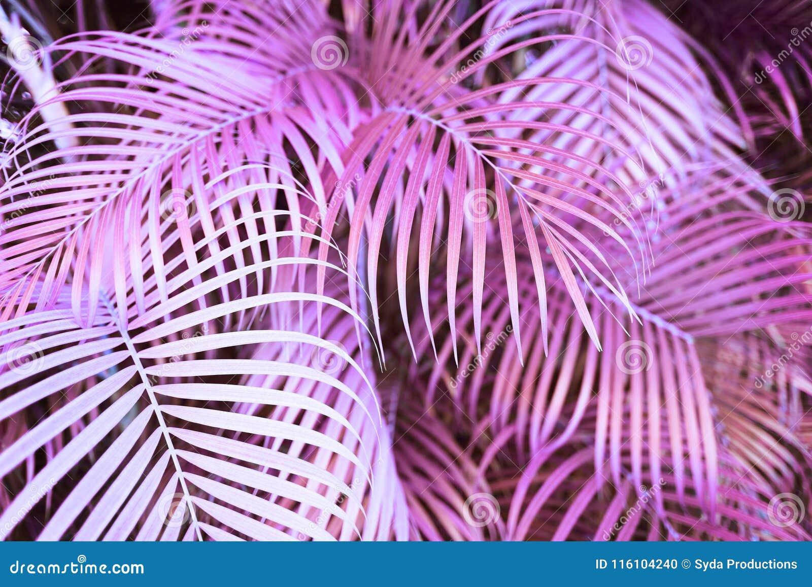Surreal roze palmbladeren
