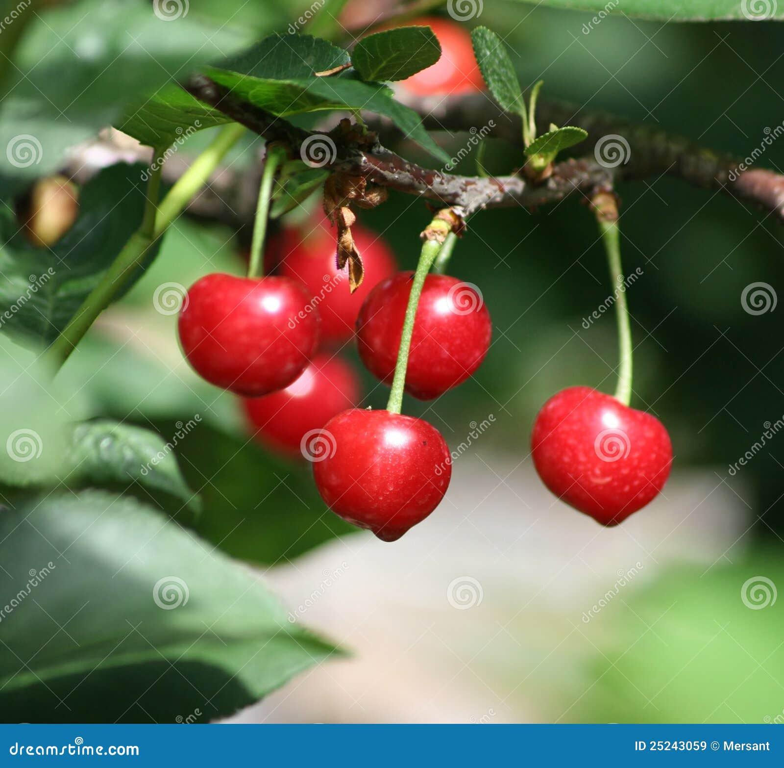 Surt Cherry