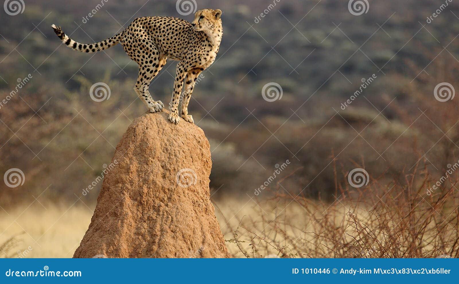 Surveillance de guépard