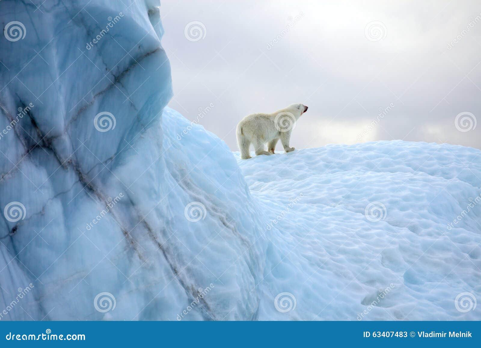 Survie d ours blanc dans l Arctique