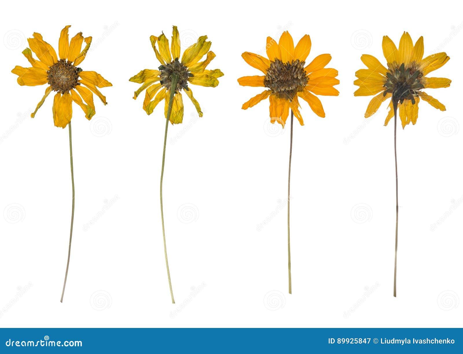 Suszący i naciskający wiosna dzicy kwiaty odizolowywający na białym tle