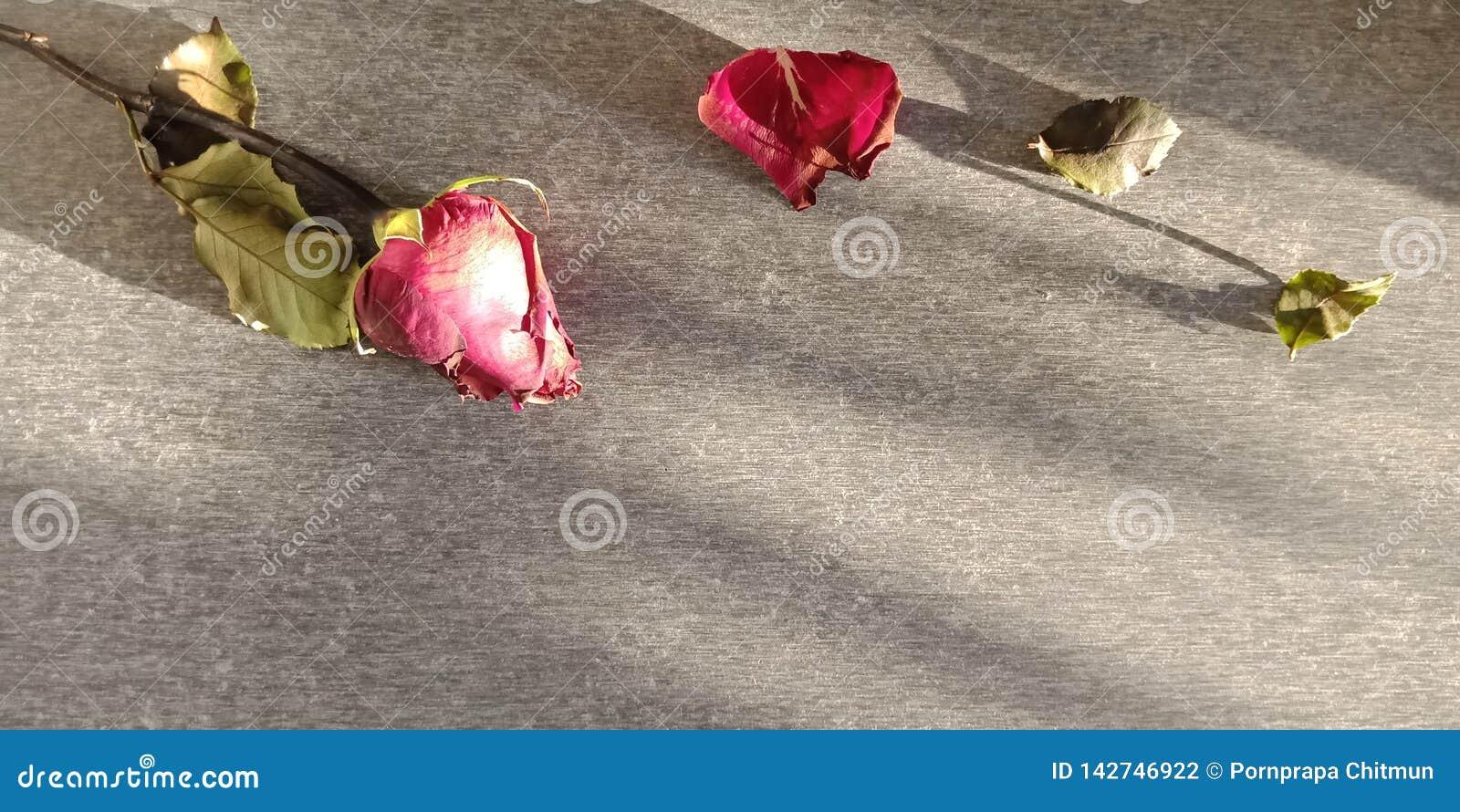 Suszyć i więdnąć róże na ciemnym tle