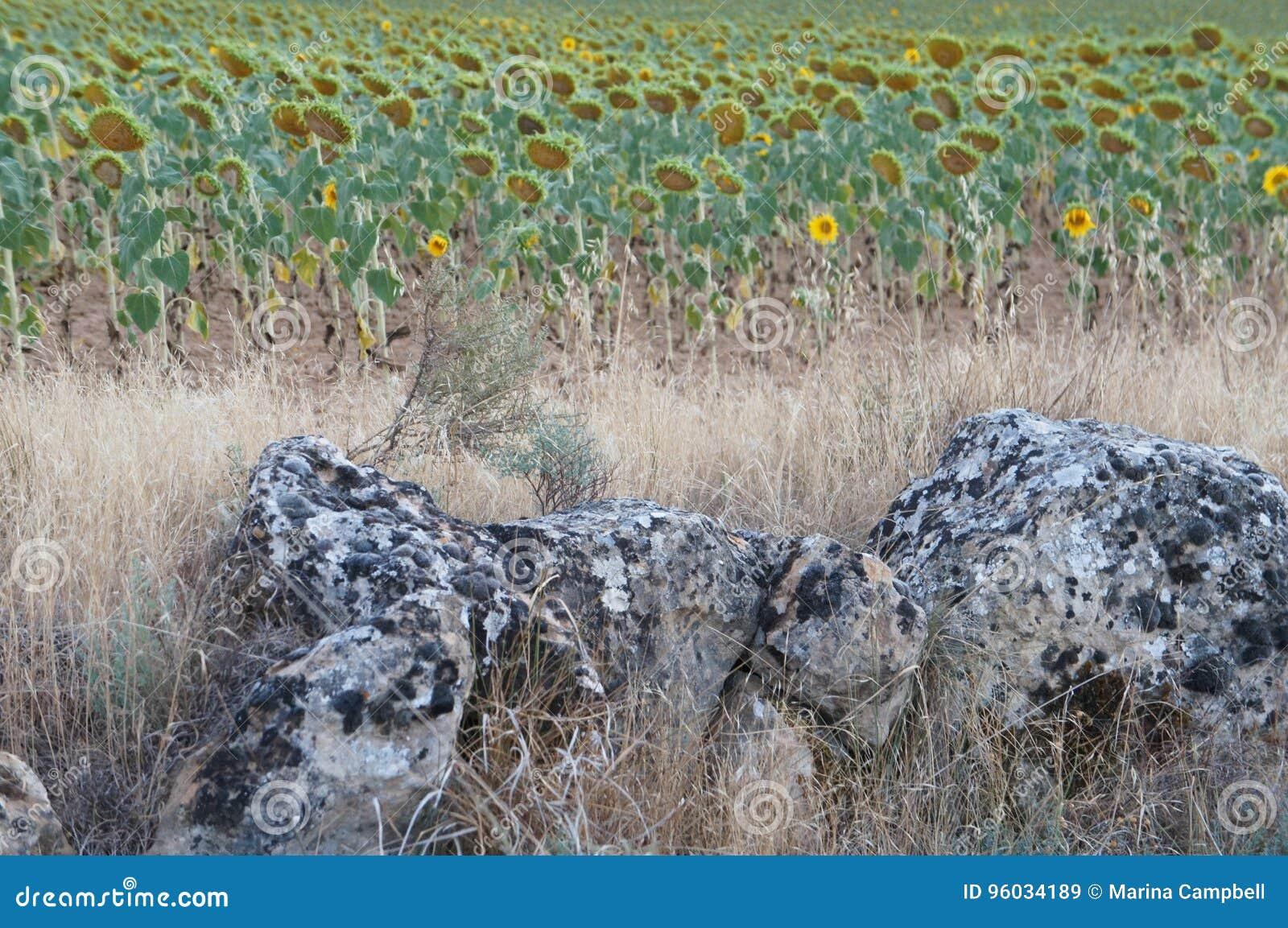 Suszy pole w Hiszpańskiej wiosce, słonecznikach i kamieniach,