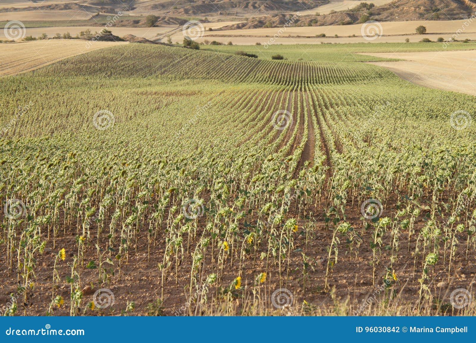 Suszy pole w Hiszpańskiej wiosce, sucha trawa, słoneczniki