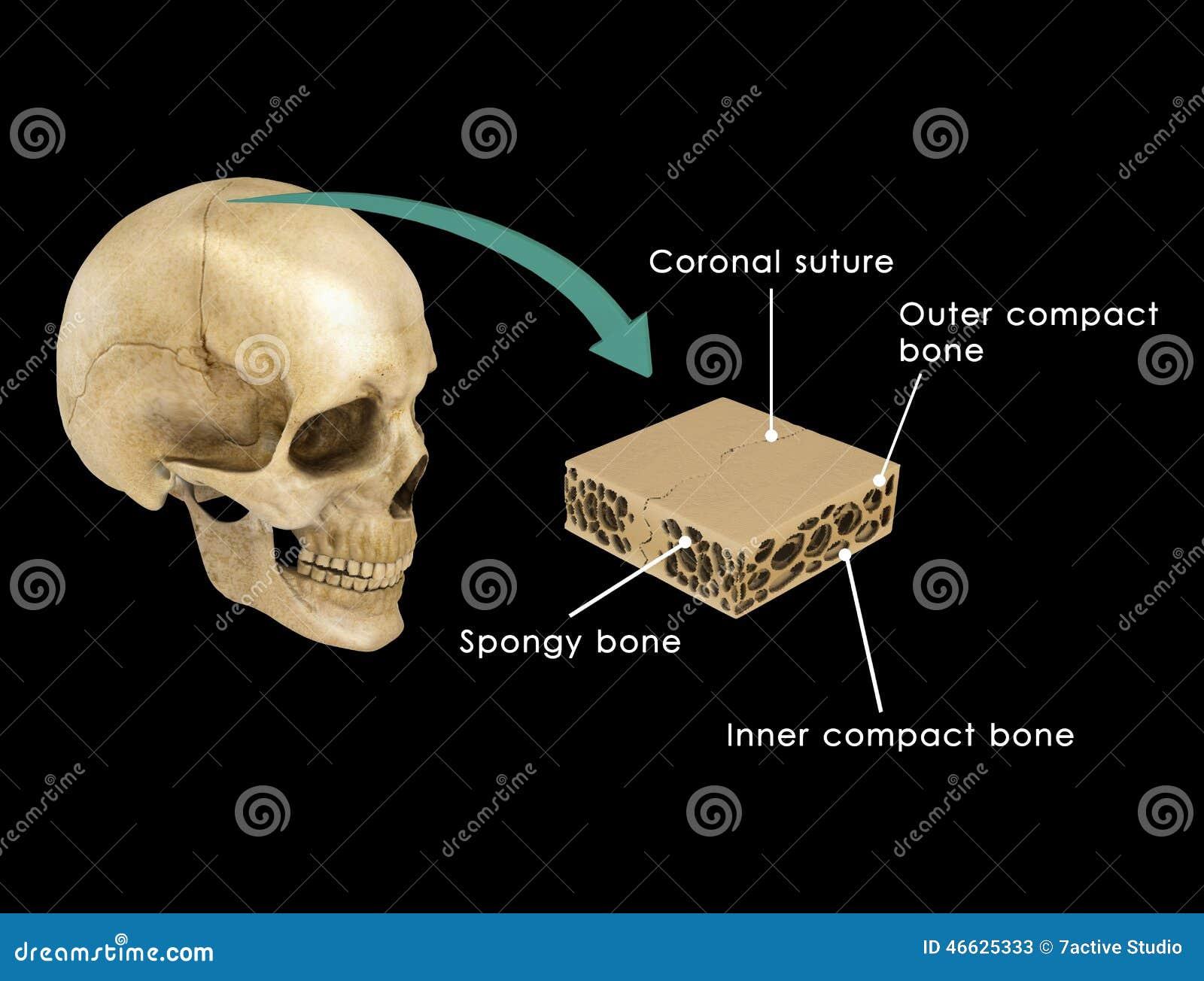 Sutura Entre Los Huesos Del Cráneo Stock de ilustración ...