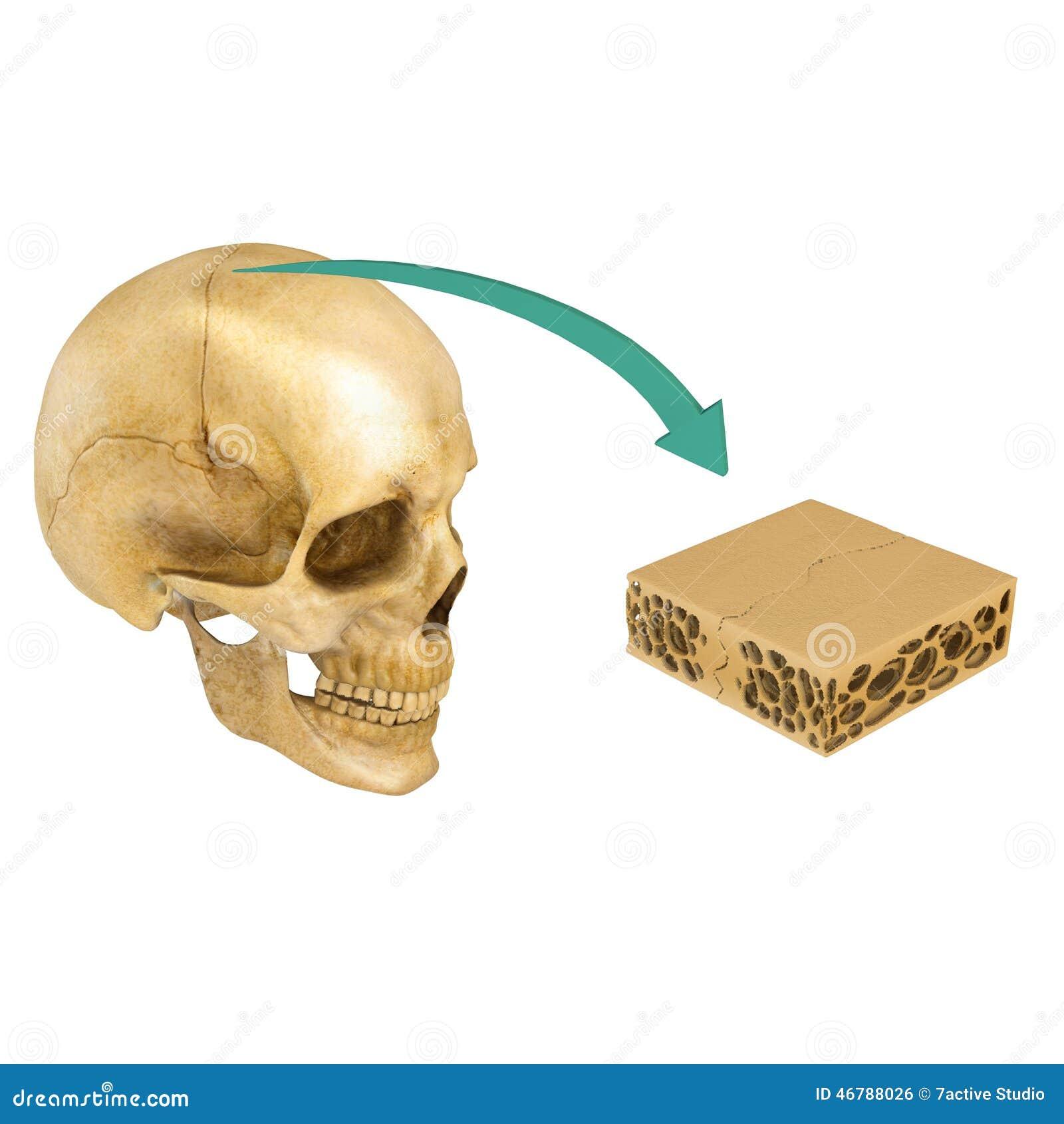 Suture Between Skull Bones Stock Illustration Illustration Of Mouth