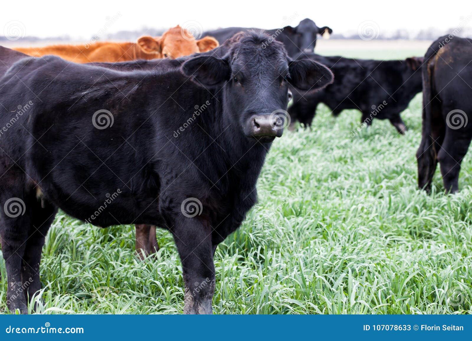 Svärta och bryna Angus nötkreatur på en lantgård/en ranch