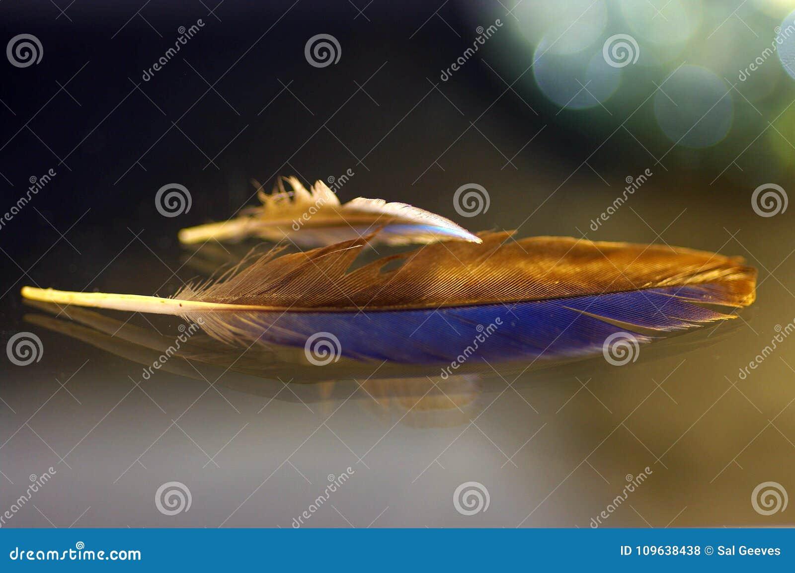 Svärta och slösa fjädern som badas i guld- solljus