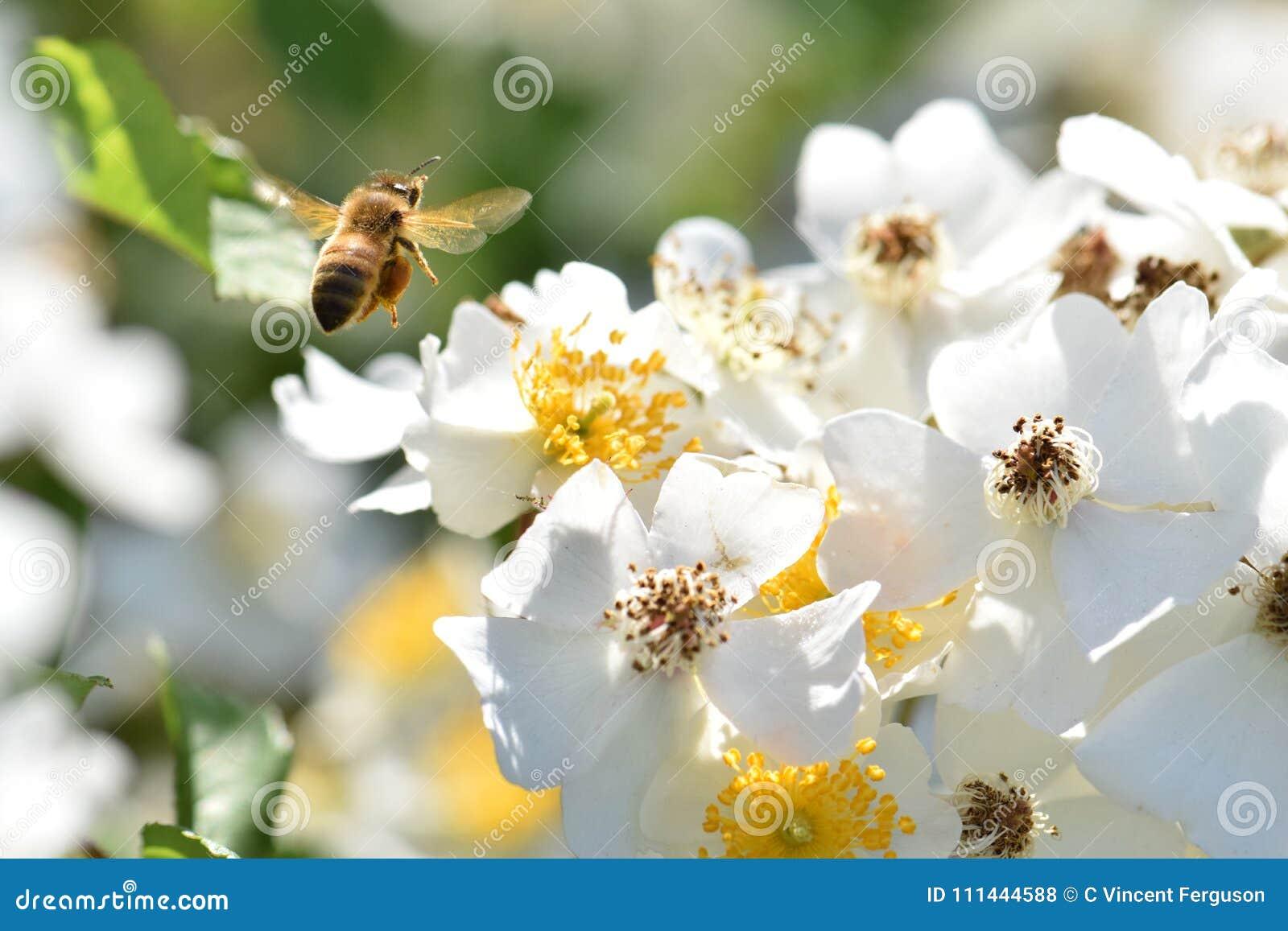 Sväva himmel för vit blomma för bi