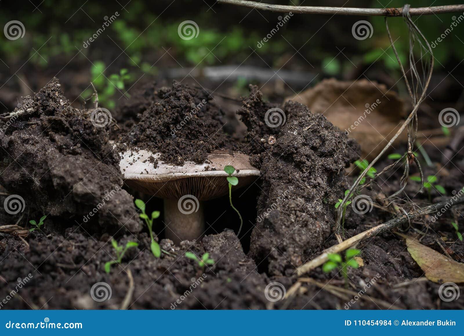 Svampen växer i skogen, det bryter till och med jorden closeup
