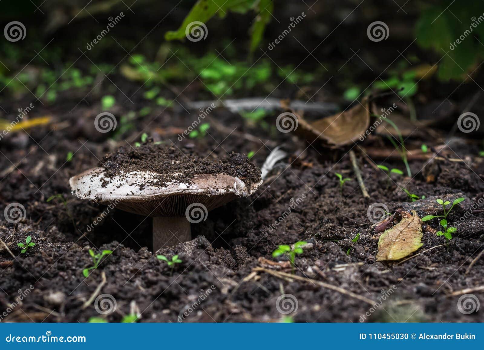Svampen växer i skogen, det bryter till och med jorden närbildsikt från jordningen