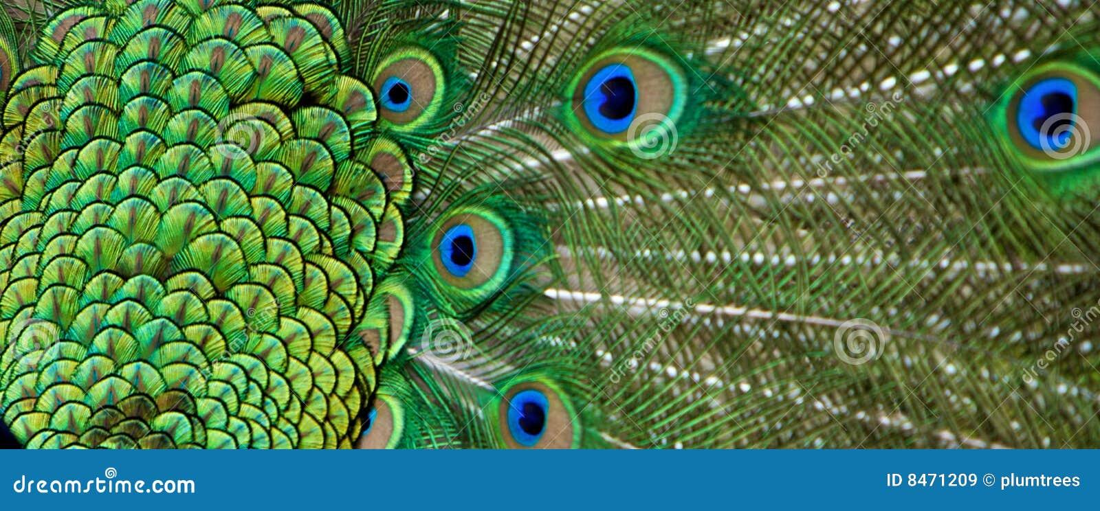 Svan för detaljfjäderpåfågel
