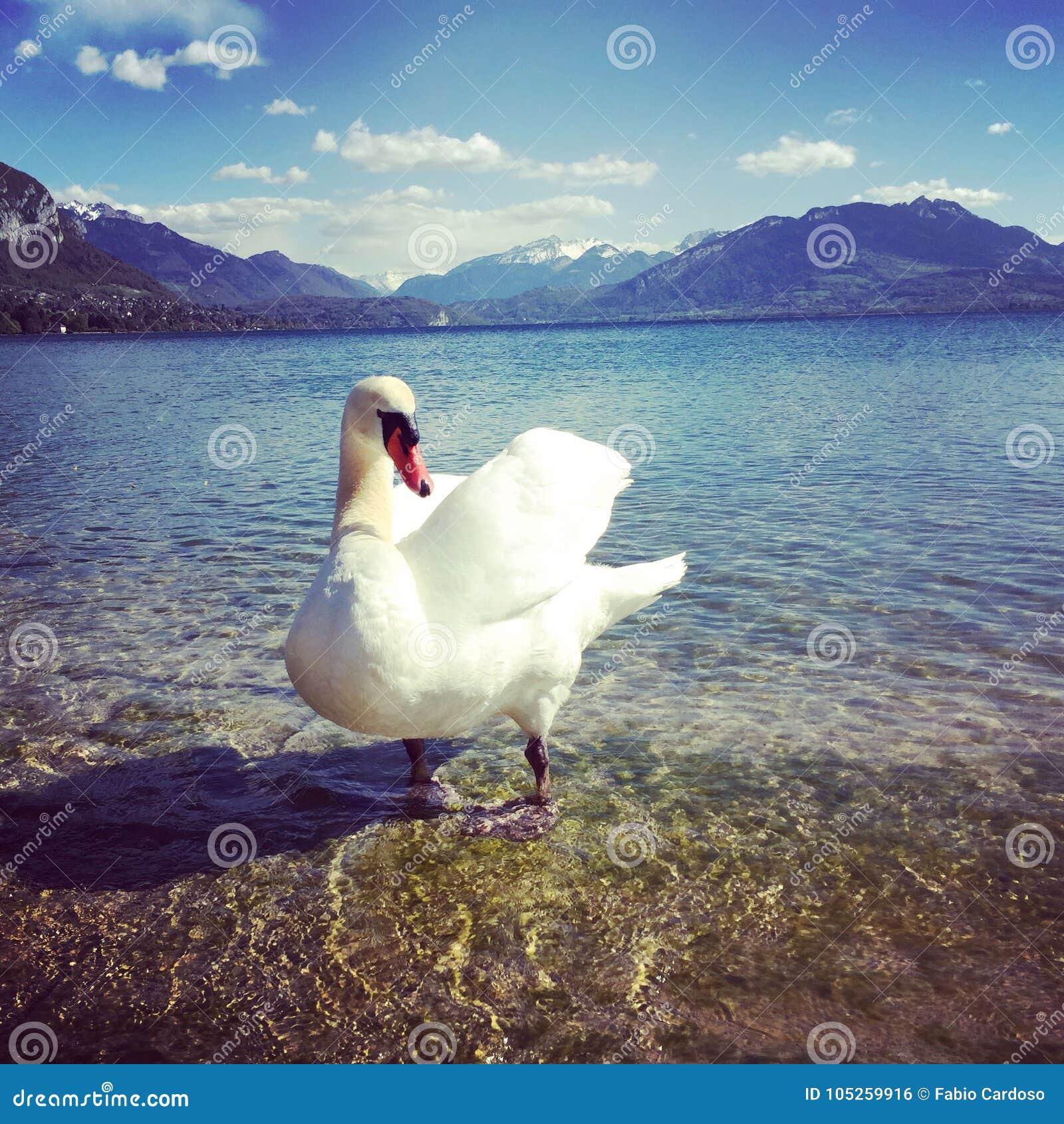Svan i sjön av Annecy
