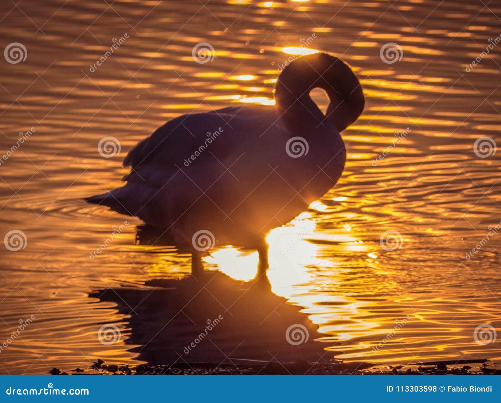 Svan i sjön på solnedgången
