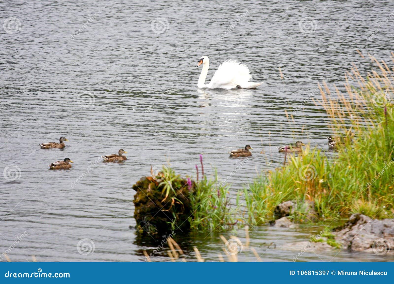 Svan med änder på en sjö i Irland