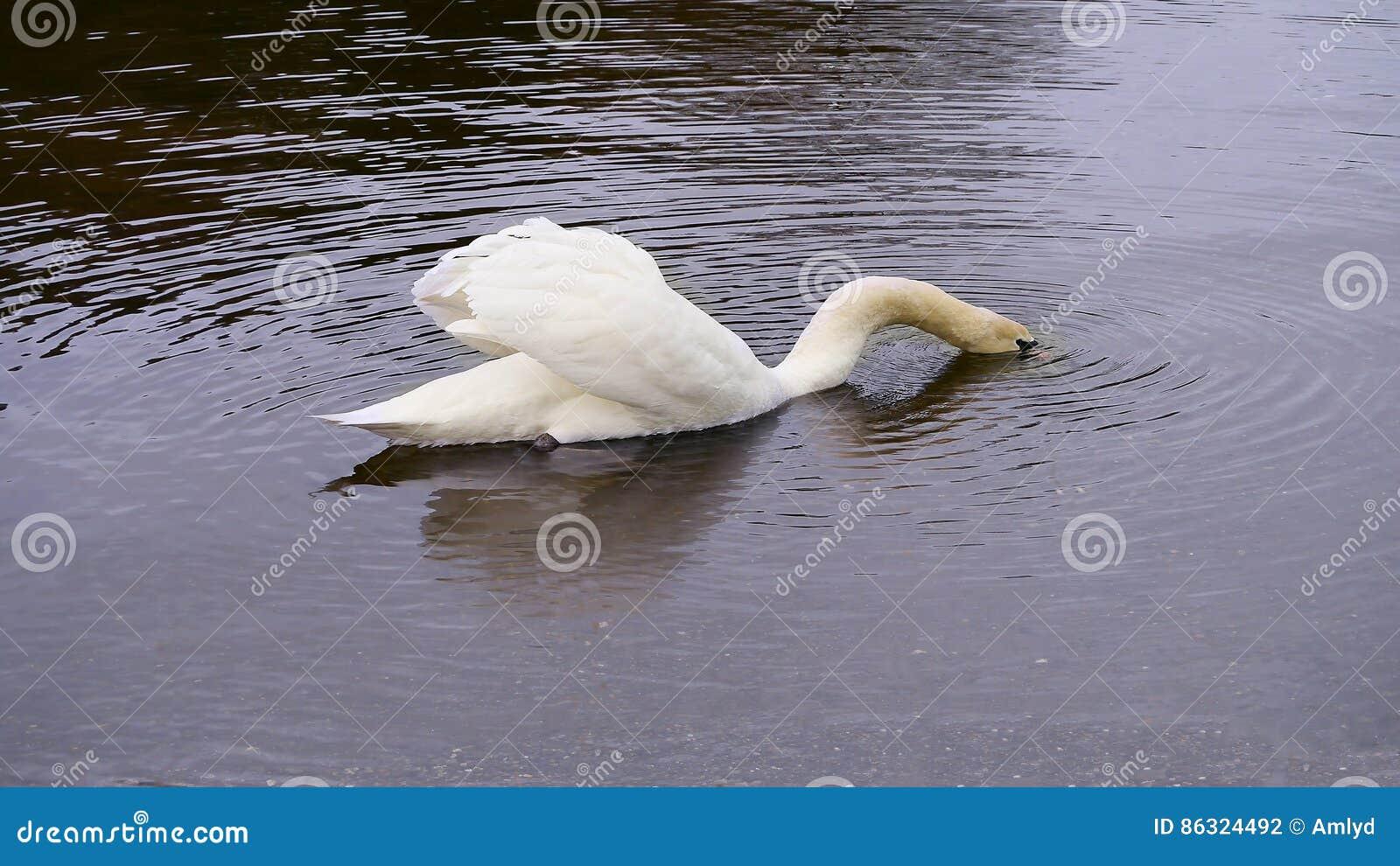 Svan med huvudet som går under precis vatten