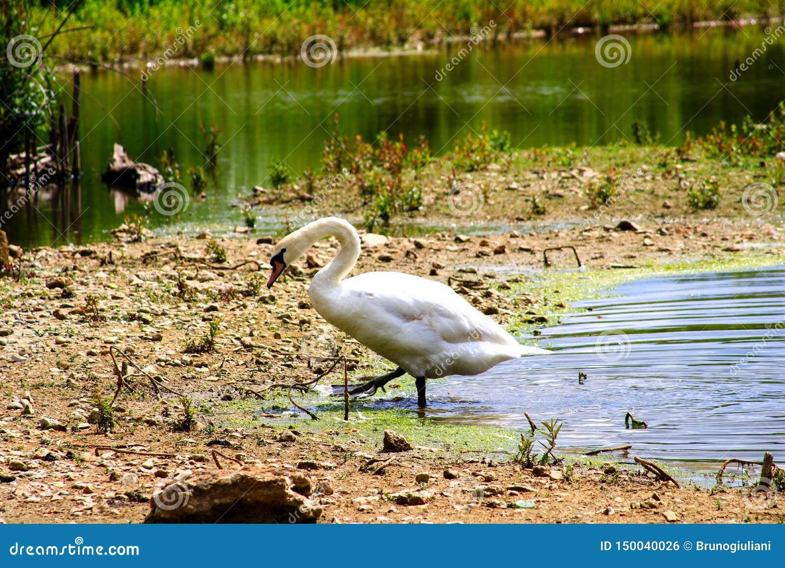 Svan som kommer ut ur vattnet av ett damm, medan gå