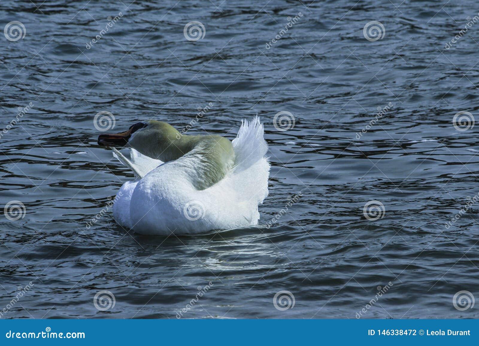 Svan som putsar i sjön