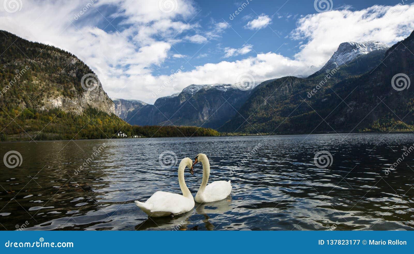 Svanar i Hallstatt sjön