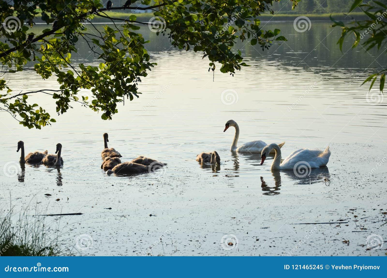 Svanar på sjön i den öppna luften 3