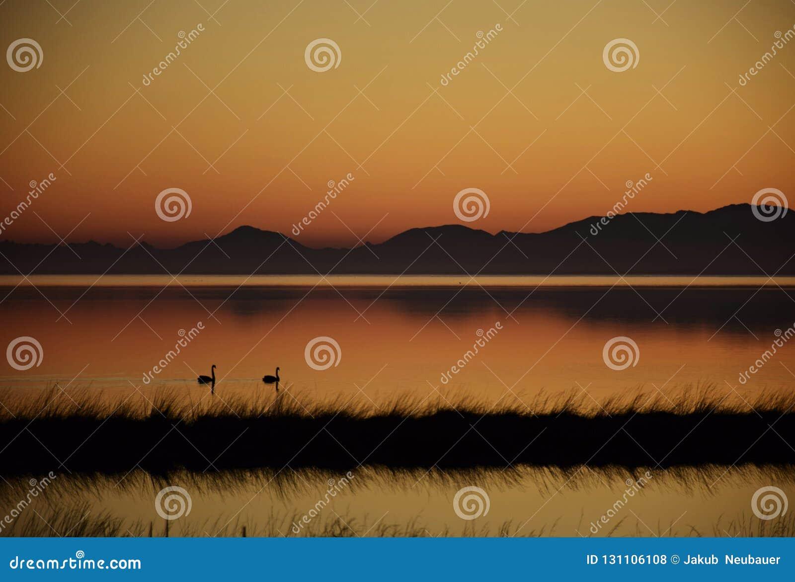 Svanar på sjön i Nya Zeeland