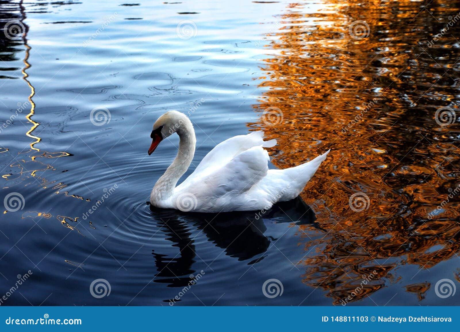 Svanen simmar i dammet