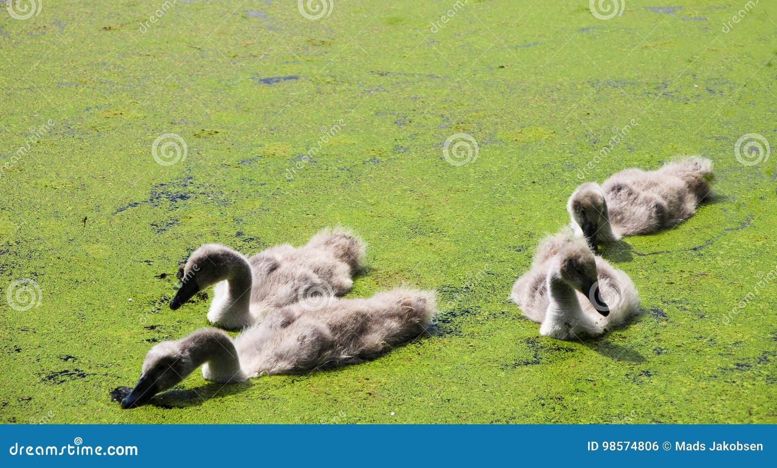 Svanfågelungar i sjön