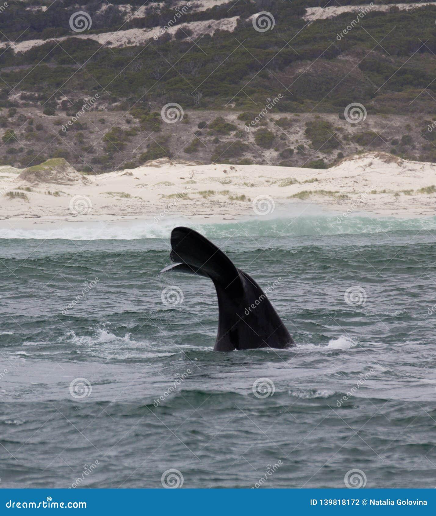 Svans av en sydlig simning för högert val nära Hermanus, västra udde africa near berömda kanonkopberg den pittoreska södra fjäder