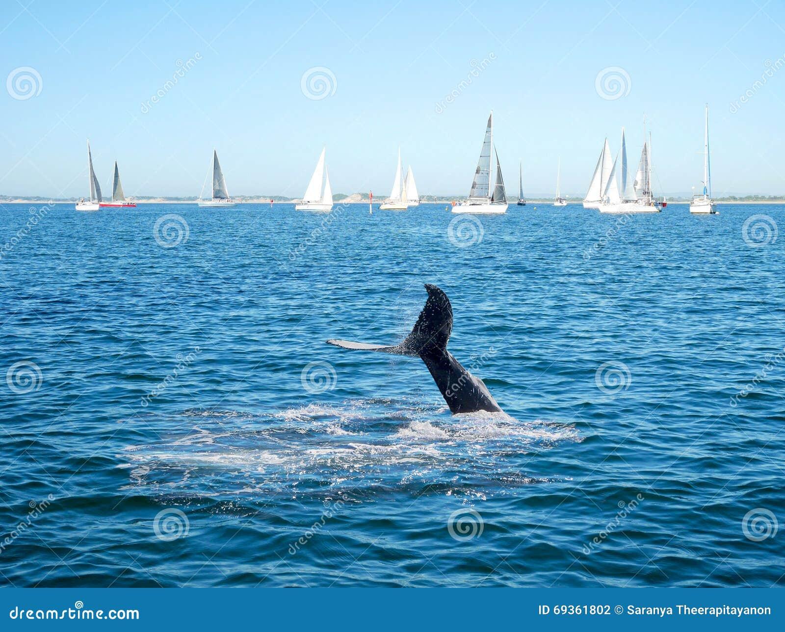 Svans och segelbåt för puckelryggval