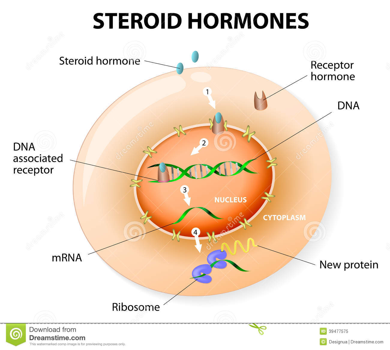 steroid hormones vs protein hormones cell signaling
