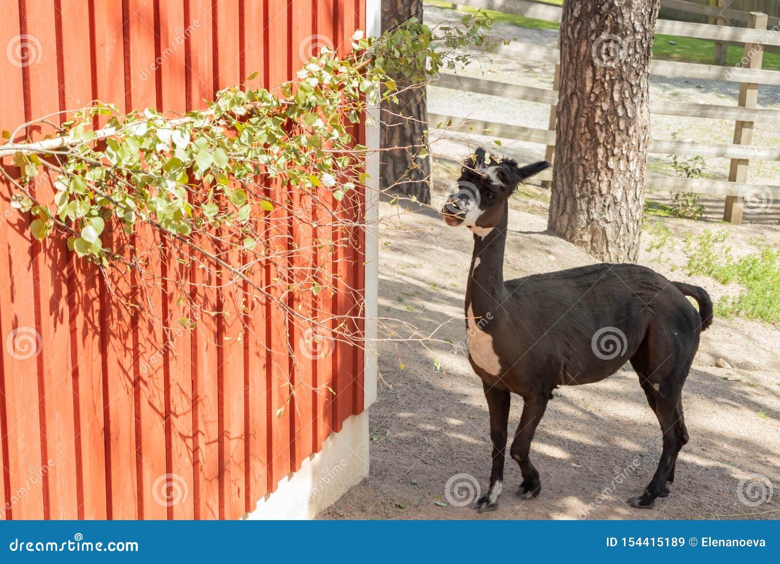 Svart alpaca i zoo på sommar