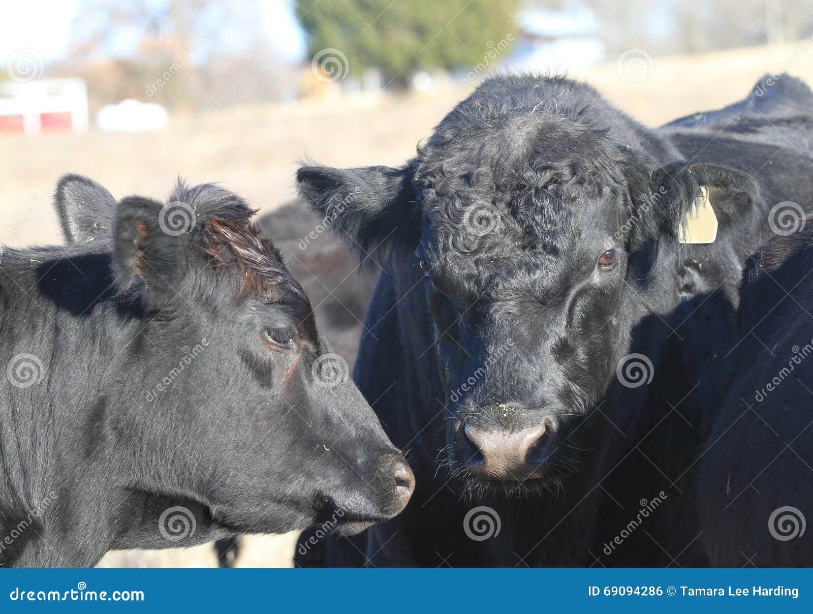 Svart Angus Bull och koframsidacloseup